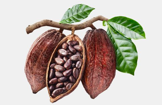 cocoa proanthocyanidins